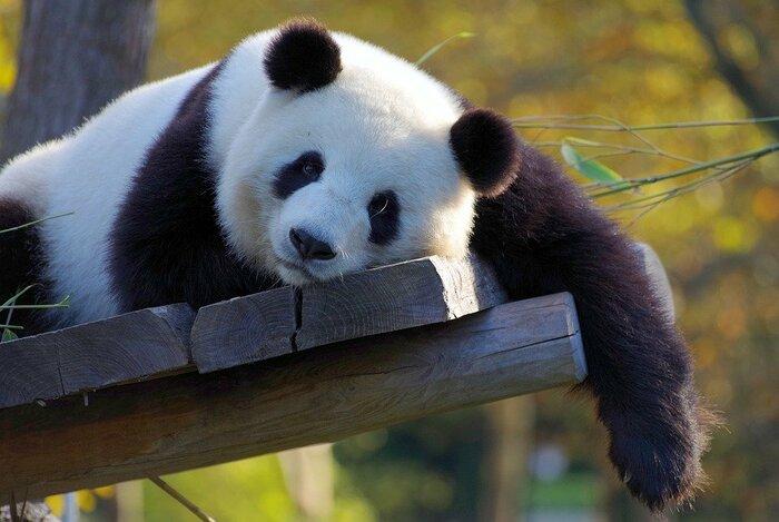 可愛いパンダがだらけてる
