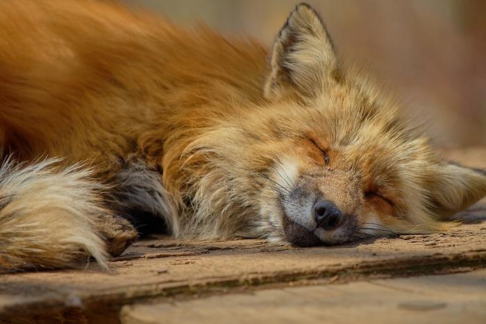 キツネの寝顔